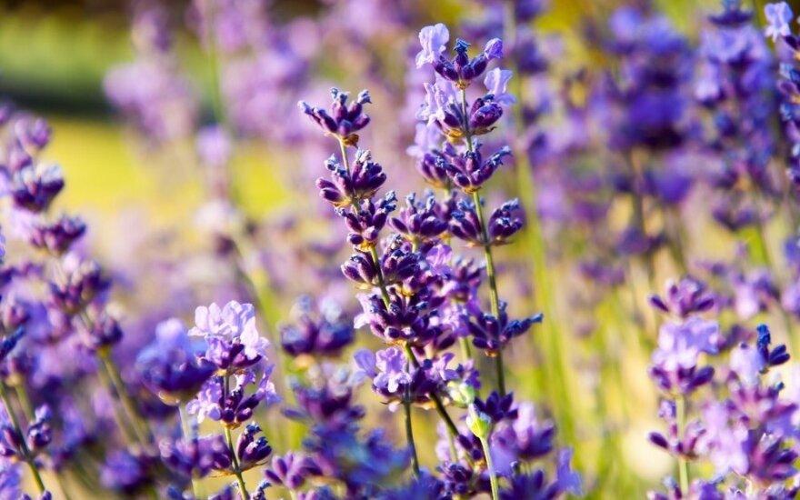 14 sodo augalų, kurie veiksmingai atbaido uodus