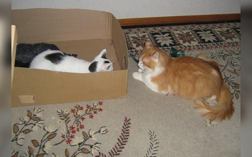 Šaunus katinas Cibulis ieško šaunių šeimininkų
