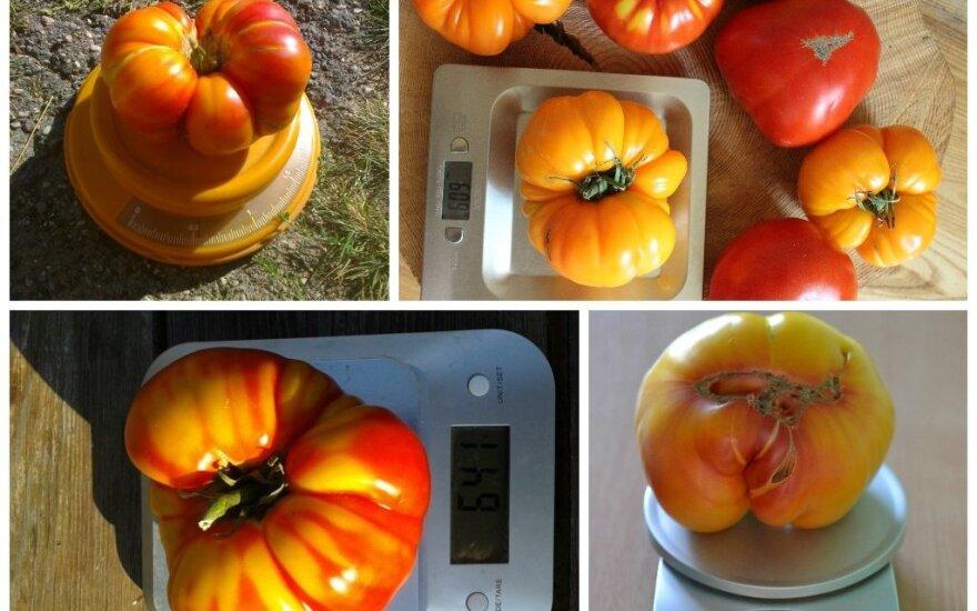 Šiltnamiuose – gigantiškų pomidorų derlius