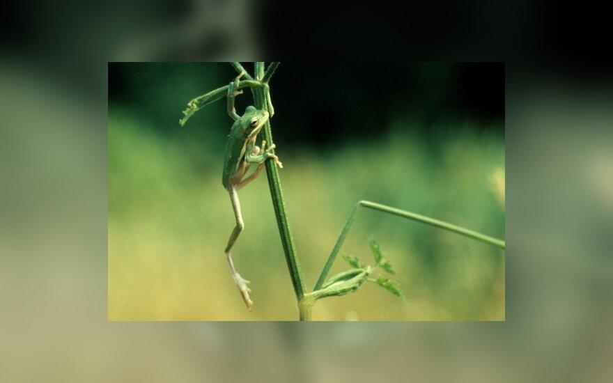 Varlė ant augalo stiebelio