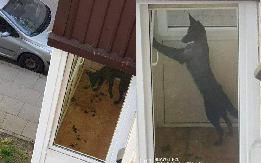 Kaimynus pakraupę: išsekęs šuo gyvena savo išmatomis užterštame balkone