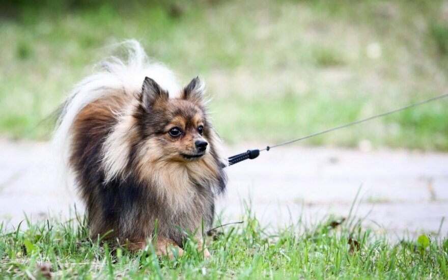 Nesvarbu - mažas ar didelis šunelis, bauda lieka tokia pat