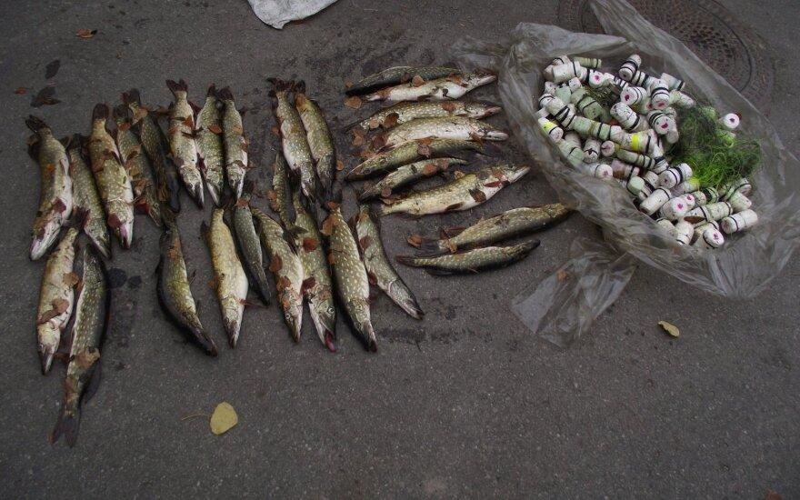 Žvejo sugautos lydekos