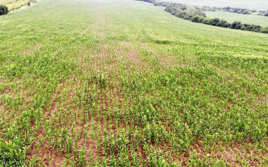 Kukurūzai auginami pagal standartinę auginimo technologiją: arimas, dirvos ruošimas sėjai, tręšimas NPK trąšomis, sėja, augalų priežiūra.