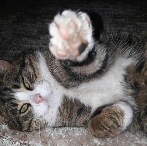 Ieško dingusio katino Klaipėdoje: reikia gyventojų pagalbos