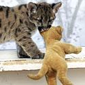 Dviejų mėnesių puma žaidžia kartu su bendraamžiu šuneliu.