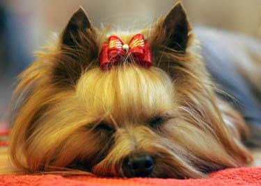 Jorkšyro terjeras, šuo, šunų paroda