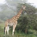 Žirafa, Kenija