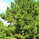 Medis, spygliuotis