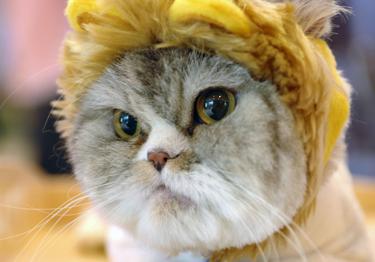 Katė, Persų veislės katinas