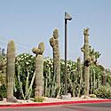 Kaktusai, vasara, karštis