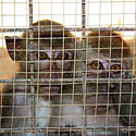 Apie ką svajoja beždžionytės