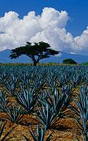 Meksikas, agavos