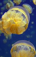 Medūzos