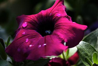 Gėlės, petunija