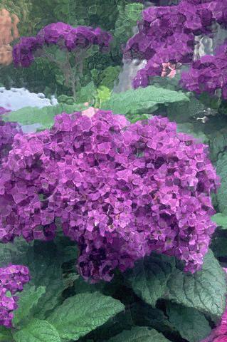 Gėlės, kvapusis heliotropas
