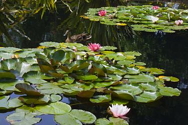 Vanduo sode, augalai