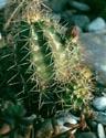Kaktusai_24