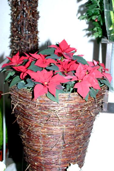 """Kalėdų žvaigždė. """"Rotušės Floralitos"""" kalėdinė kompozicija"""