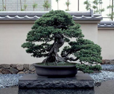 Japoniškas stilius. Bonsai