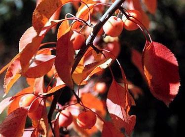 Obelis rudenį