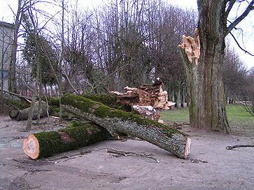 Uragano išversti medžiai Kretingoje