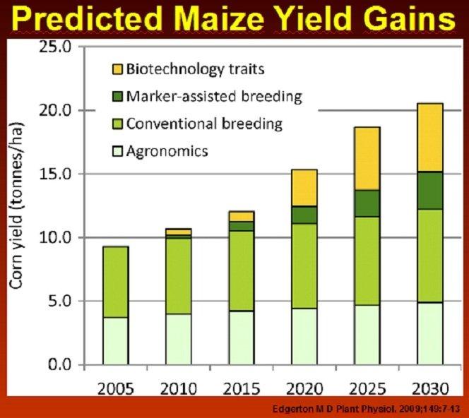 Numatomi kukurūzų pasėlių derliai su GMO ir be GMO / Prof. P. J. Davieso paskaitos medžiaga