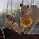 San Diego zoologijos sode dvi liūtės žaidžia su Helovyno moliūgo liekanomis