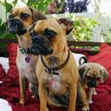 Puggle - populiariausia šuns veislė Niujorke.
