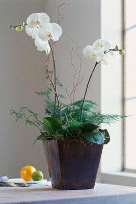Gėlė, orchidėja