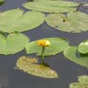 Lūgnė, vandens augalai, gėlės, vanduo, ežeras