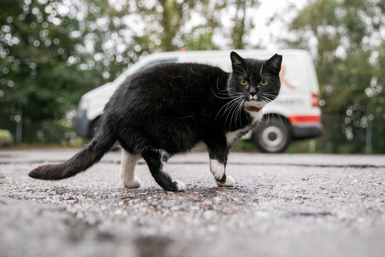 katės erekcija)