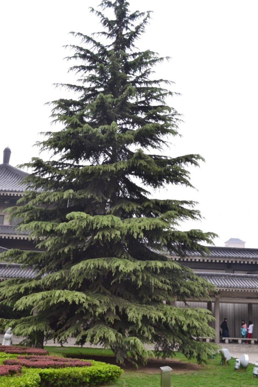 Viduržemio pajūrio medis valgomais riešutais