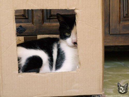 8 katės, kurios atrodo kaip Adolfas Hitleris
