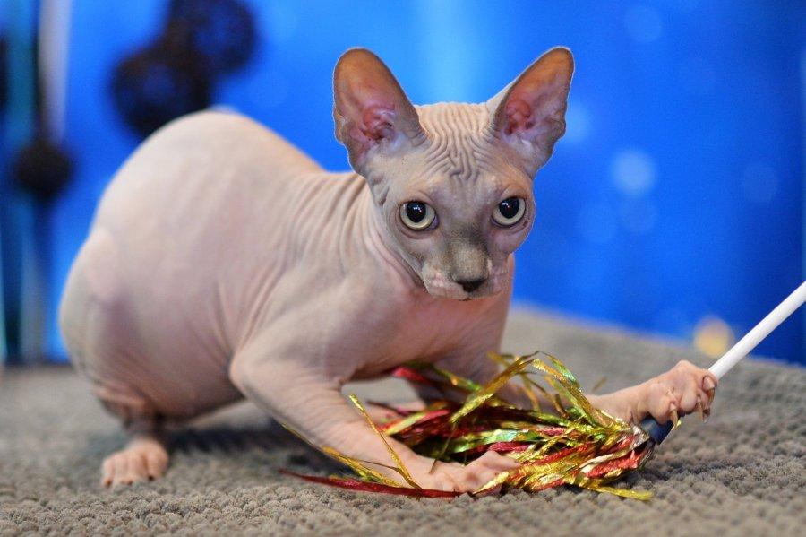 Мошенники изКанады брили котят, чтобы выдать ихзадорогих сфинксов