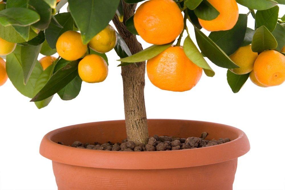 Ar valgomas mango kauliukas