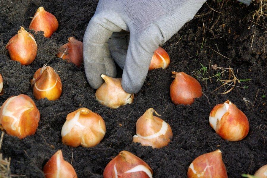 Tulpiu sodinimas vazonuose