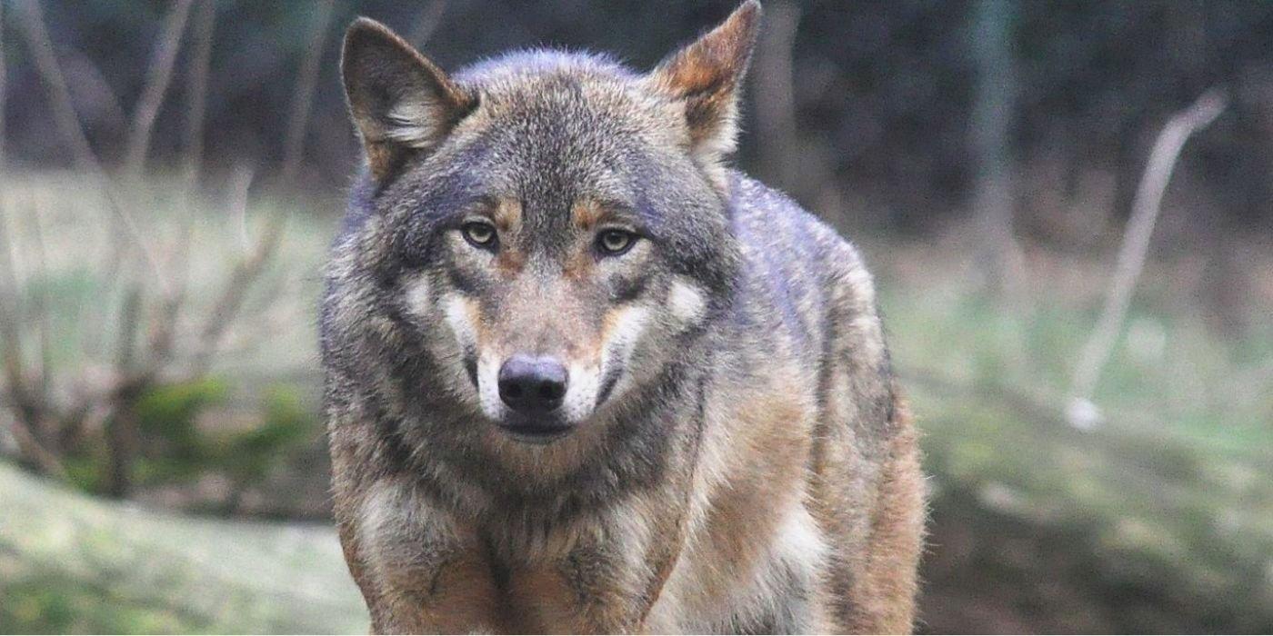 medienos vilkų prekybos galimybės)